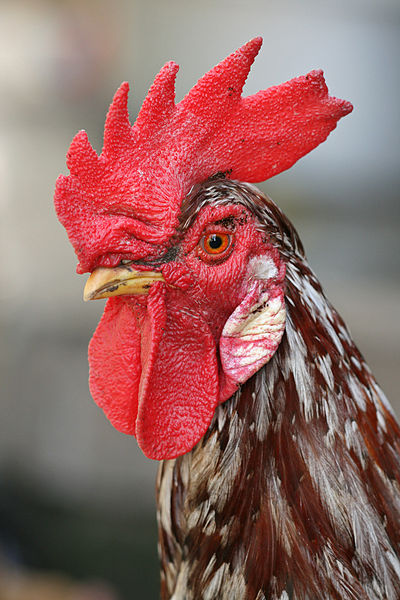 400px-Rooster_portrait2